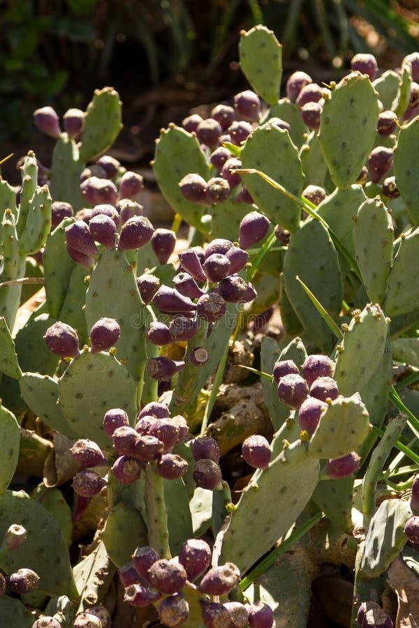 Frutta del cactus di Sabra immagine stock libera da diritti