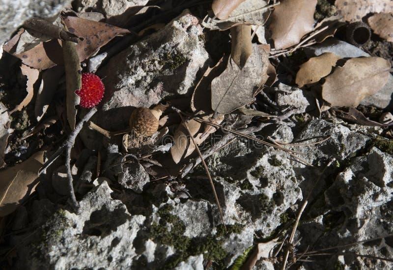 Frutta del corbezzolo immagine stock