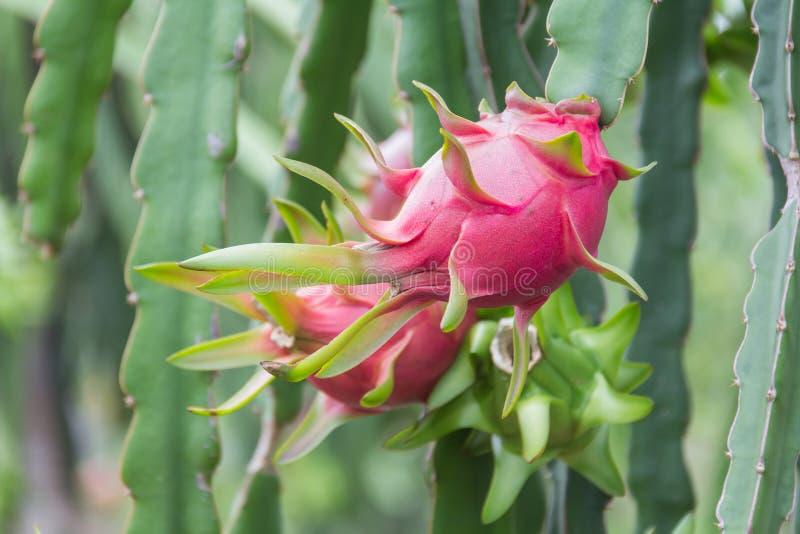 Frutta del drago, immagine stock libera da diritti