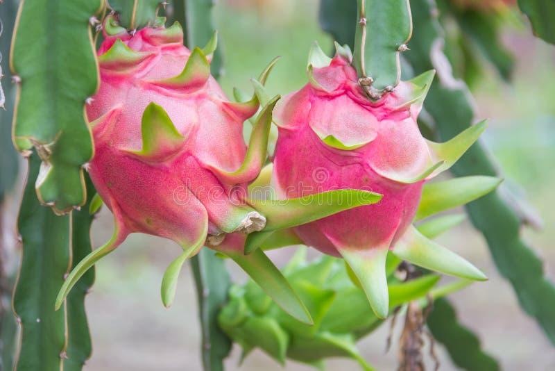 Frutta del drago, fotografie stock