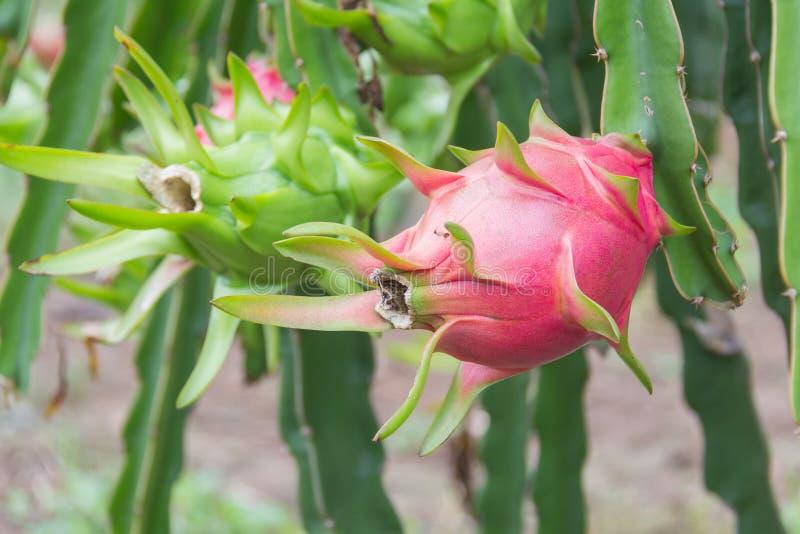 Frutta del drago, fotografia stock