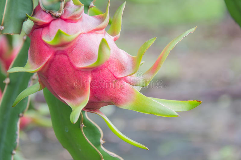 Frutta del drago, fotografie stock libere da diritti