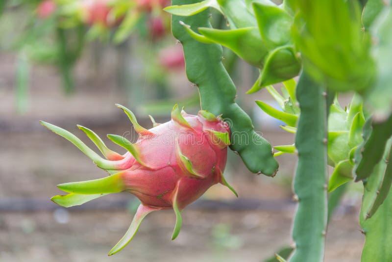 Frutta del drago, immagine stock