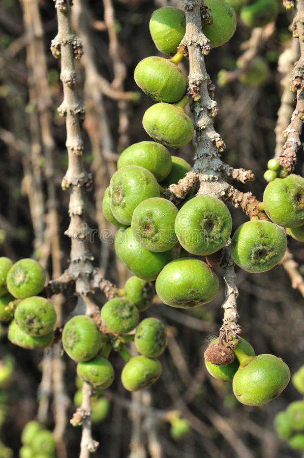 Download Frutta del fico. immagine stock. Immagine di grezzo, fiore - 30830311