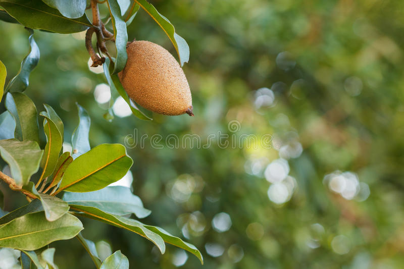 Frutta del manilkara zapota, sapota fotografie stock libere da diritti