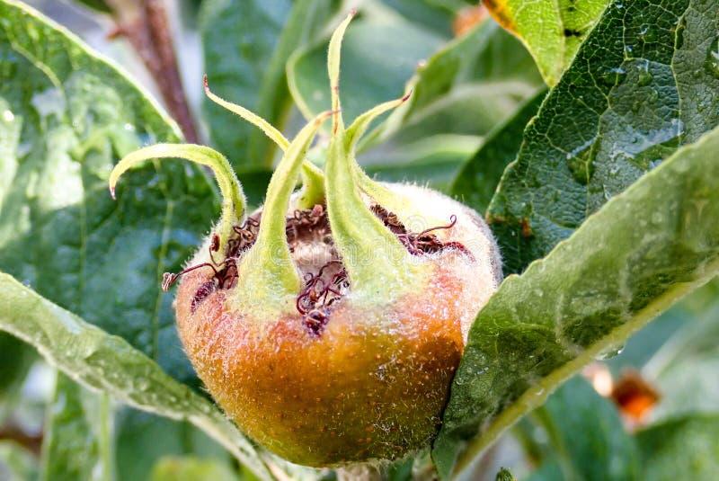 Frutta del mespilus germanica comune della nespola fotografia stock