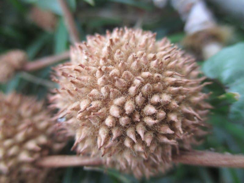 Frutta del sicomoro di autunno immagini stock