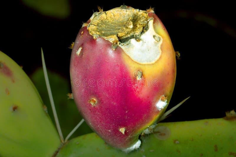 Frutta del tonno della frutta del cactus fotografia stock libera da diritti