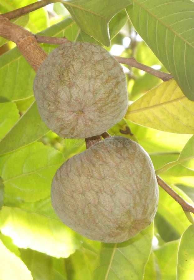 Frutta dell'albicocca immagini stock