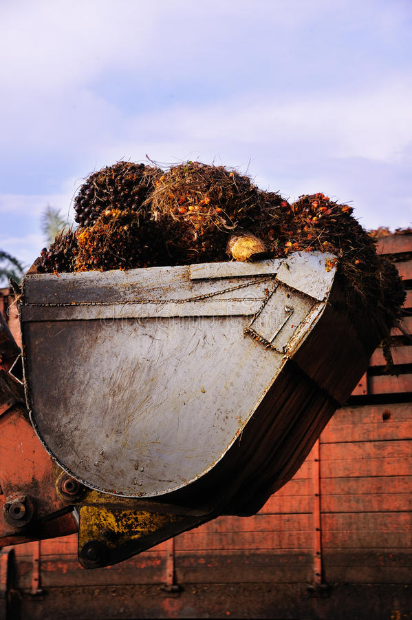 Frutta dell'olio di palma fotografia stock libera da diritti