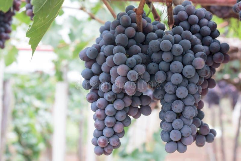 Frutta dell'uva sull'albero fotografia stock