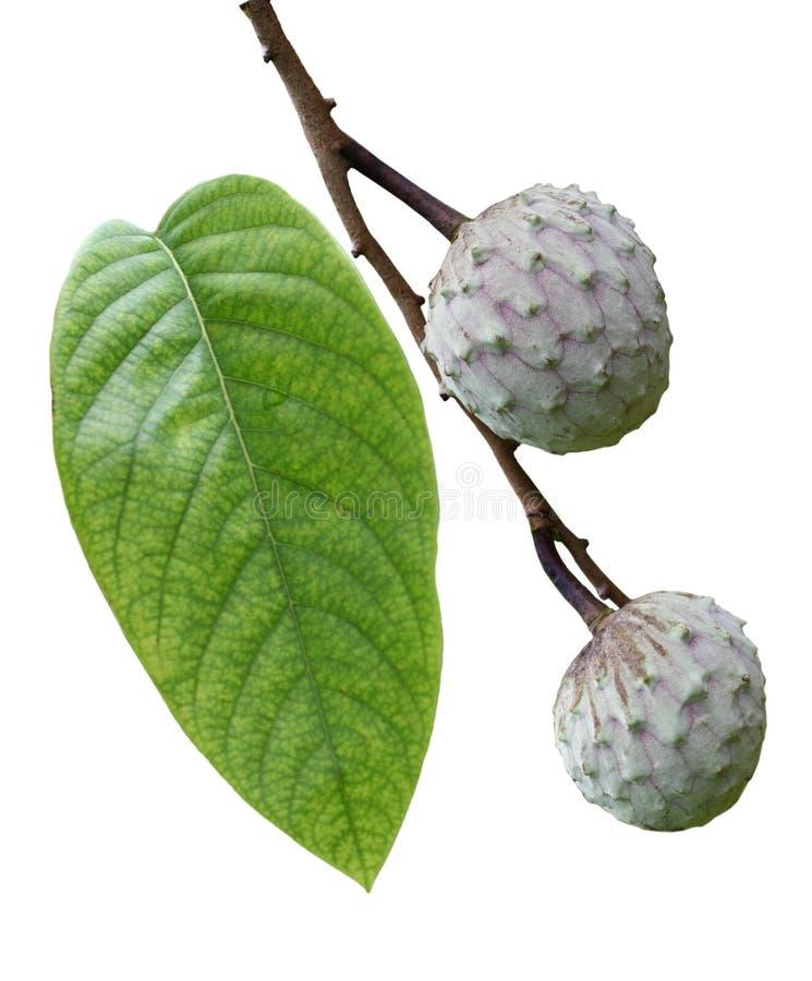 Frutta della cherimolia fotografie stock