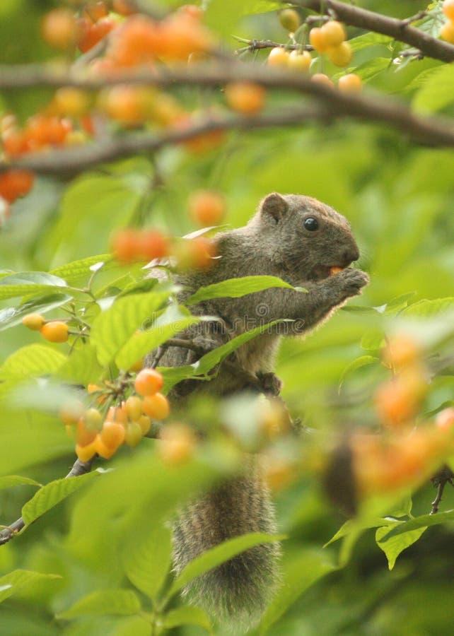 Frutta della ciliegia del foraggio degli scoiattoli fotografia stock