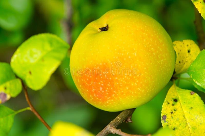 Frutta della cotogna fotografie stock