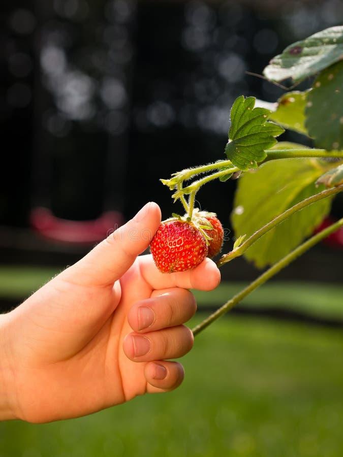 Frutta della fragola di raccolto fotografie stock