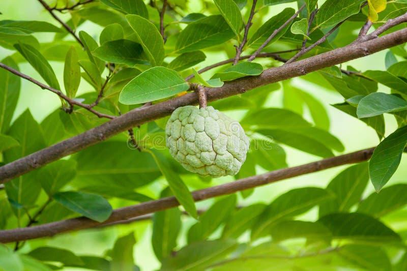 Frutta della mela cannella fotografie stock