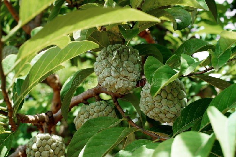 Frutta della mela cannella sull'albero fotografia stock libera da diritti