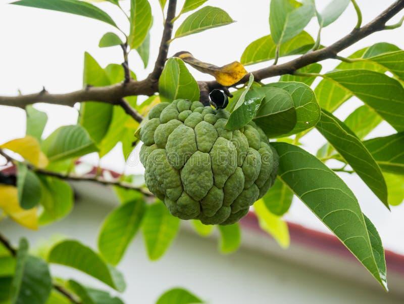 Frutta della mela cannella sull'albero verde nel giardino fotografie stock libere da diritti