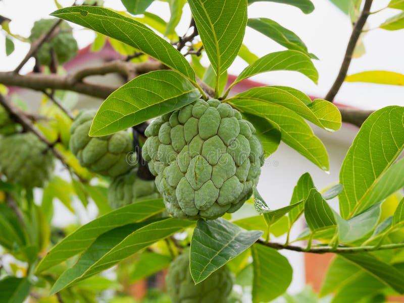 Frutta della mela cannella sull'albero verde nel giardino fotografia stock libera da diritti