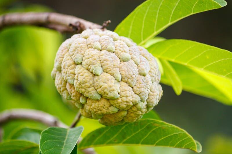 Frutta della mela cannella sull'albero verde nel giardino fotografia stock