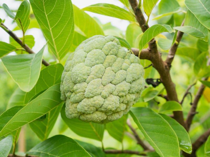 Frutta della mela cannella sull'albero verde nel giardino immagini stock