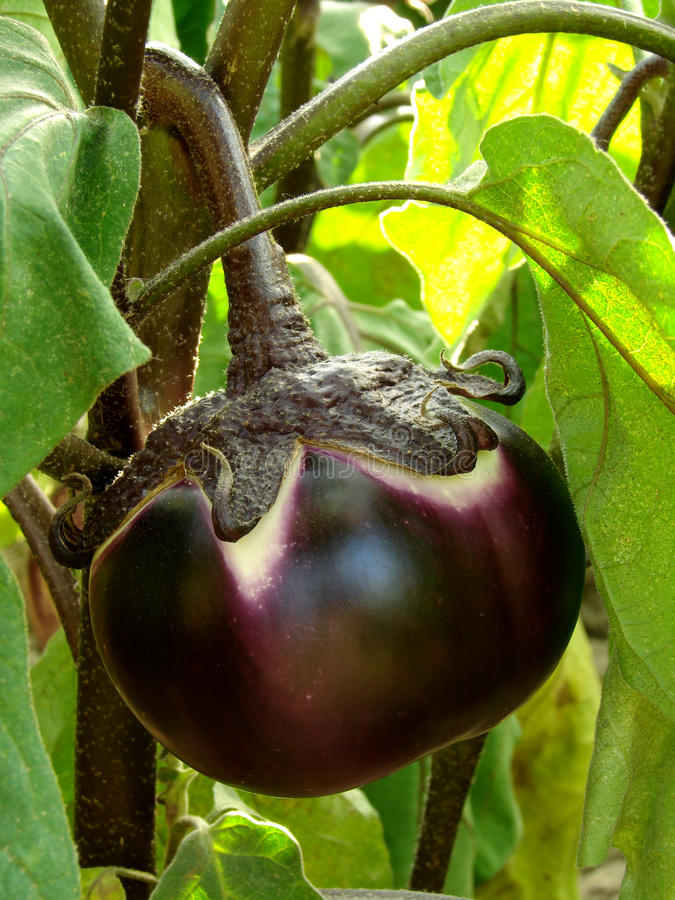 Frutta della melanzana immagini stock libere da diritti