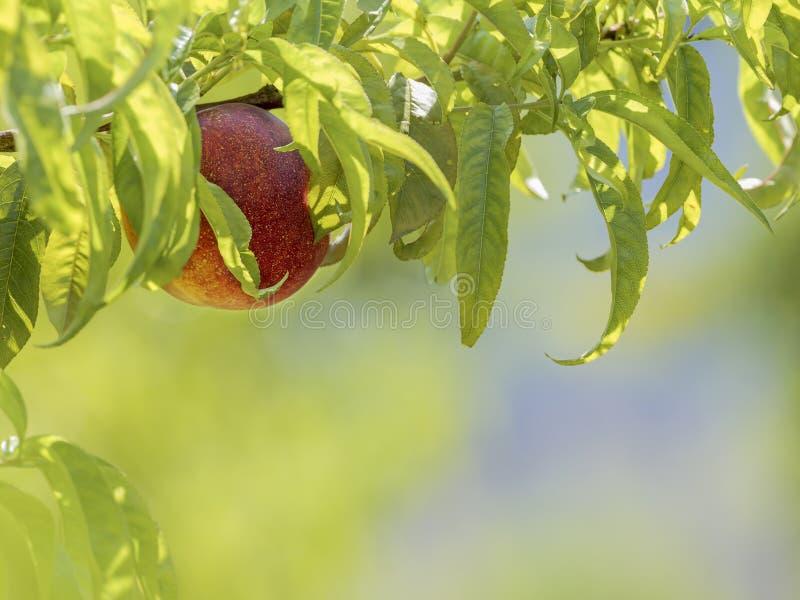 Frutta della nettarina naturale nell'albero e con fondo vago immagine stock libera da diritti