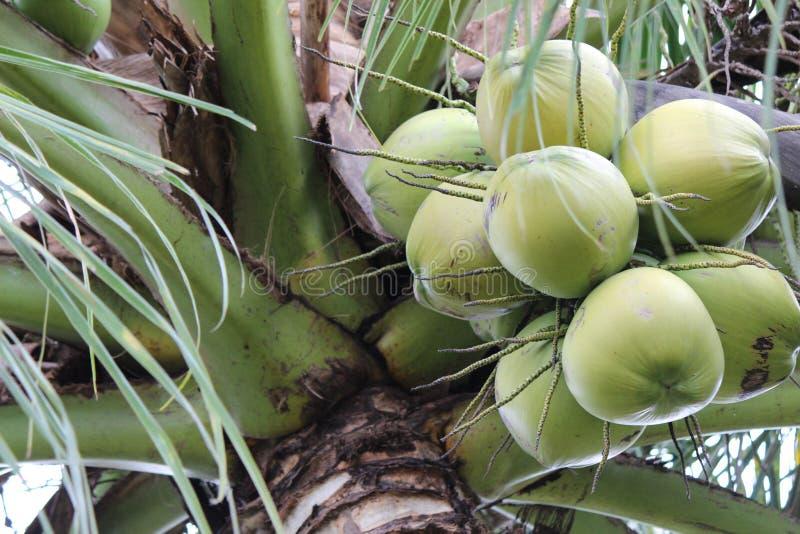 Frutta della noce di cocco immagini stock libere da diritti