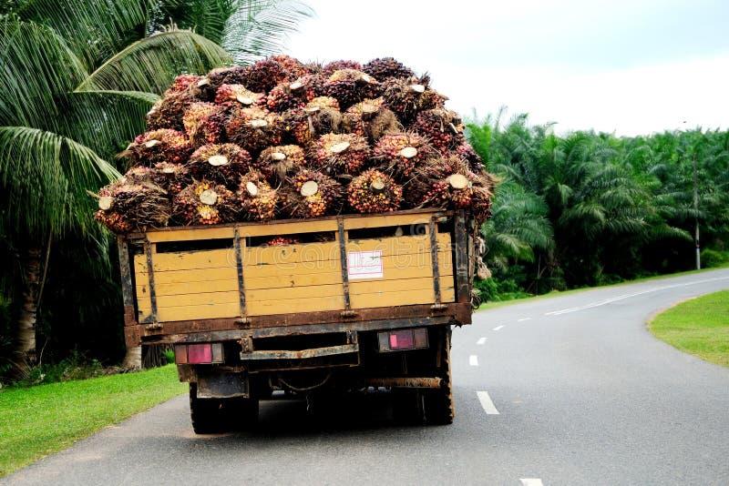 Frutta della palma immagine stock