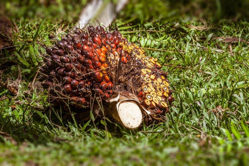 Frutta della palma da olio fotografie stock libere da diritti