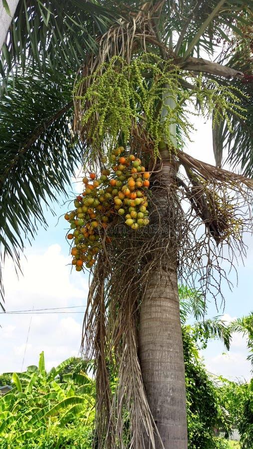 Frutta della palma strappata ‹di Construction†immagini stock