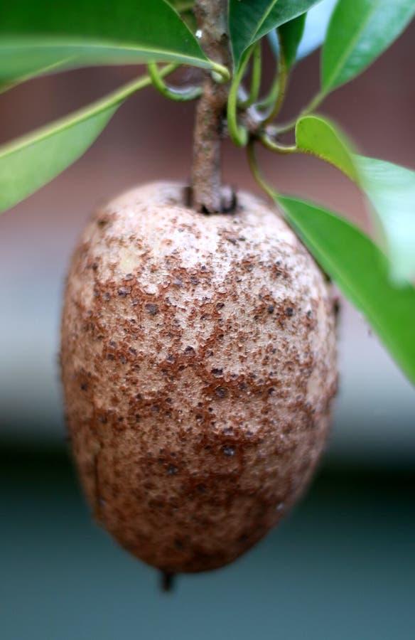 Frutta della sapota immagine stock libera da diritti