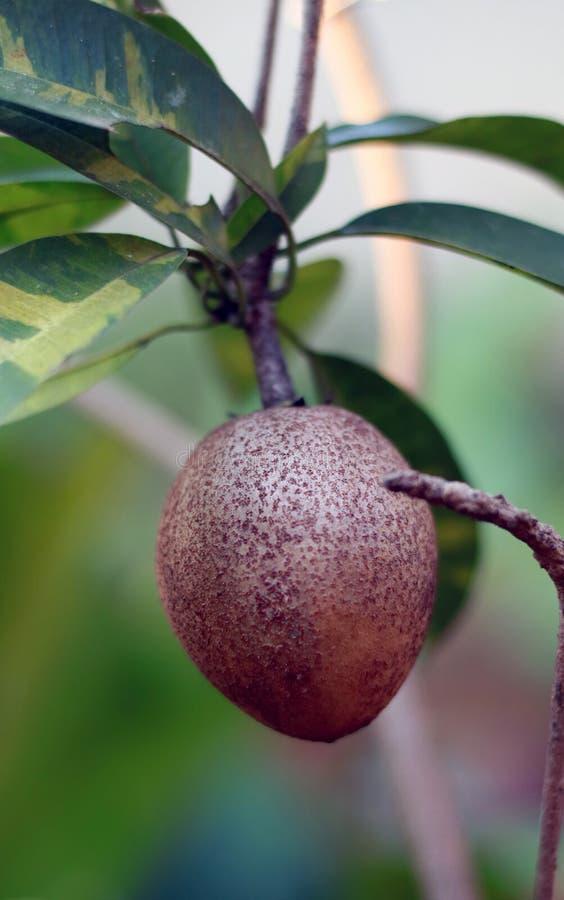 Frutta della sapota sull'albero fotografia stock