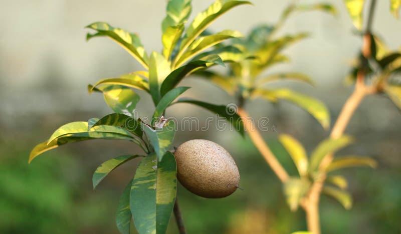 Frutta della sapota sull'albero fotografia stock libera da diritti