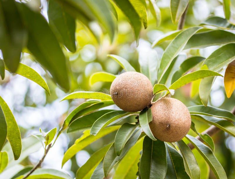 Frutta della sapota sull'albero nel giardino fotografie stock libere da diritti