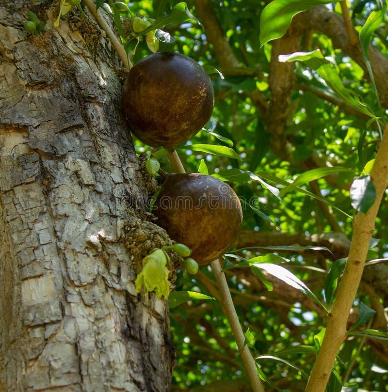 Frutta della zucca a fiaschetta sull'albero fotografie stock libere da diritti