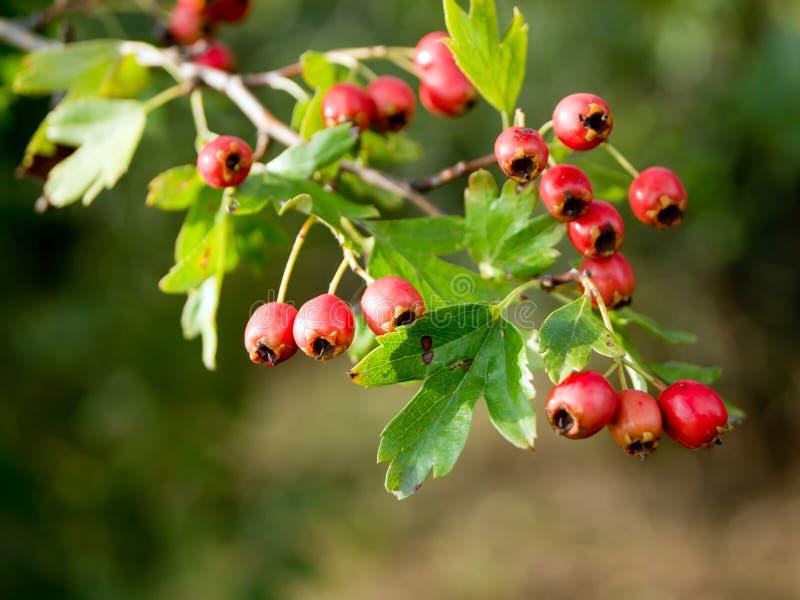 Frutta di cratego (laevigata del crataegus) fotografia stock