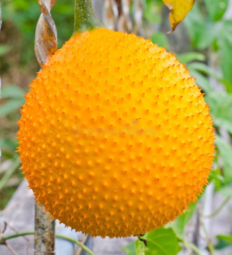 Frutta di Gac. fotografie stock