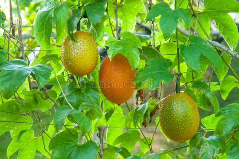 Frutta di Gac, Jackfruit del bambino fotografia stock libera da diritti