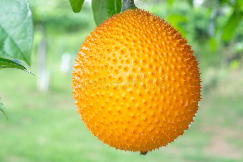 Frutta di Gac sull'albero, giaca del bambino, zucca di Cochinchin, zucca amara coperta di spine, zucca dolce immagine stock libera da diritti