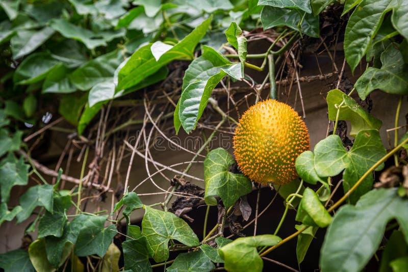 Frutta di Gac sull'albero, giaca del bambino, zucca di Cochinchin, zucca amara coperta di spine, zucca dolce Momordica Cochinchin fotografia stock