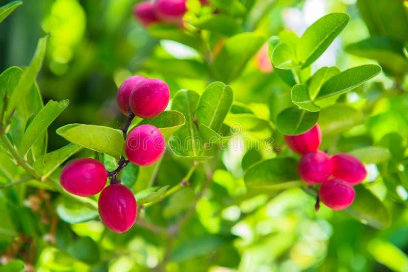 Frutta di Karonda o bacca fresca della calce immagine stock libera da diritti
