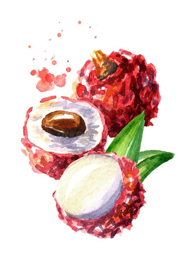 Frutta di Lychee Illustrazione disegnata a mano dell'acquerello isolata su fondo bianco royalty illustrazione gratis