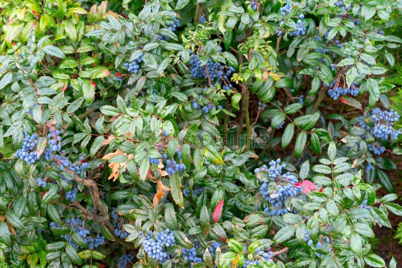 Frutta di Magonia sul cespuglio fotografia stock libera da diritti