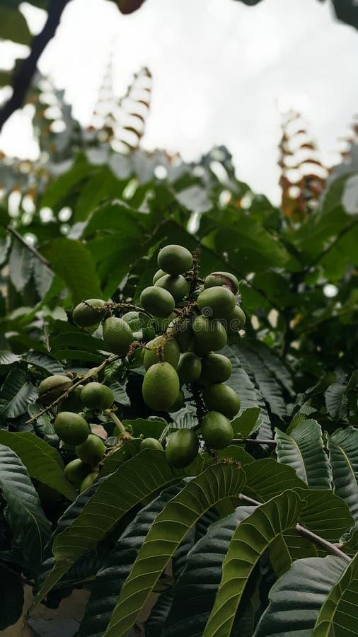 Frutta di Matoa dall'Indonesia fotografia stock