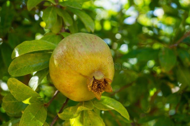 Frutta di pianta legnosa del melograno fotografie stock libere da diritti