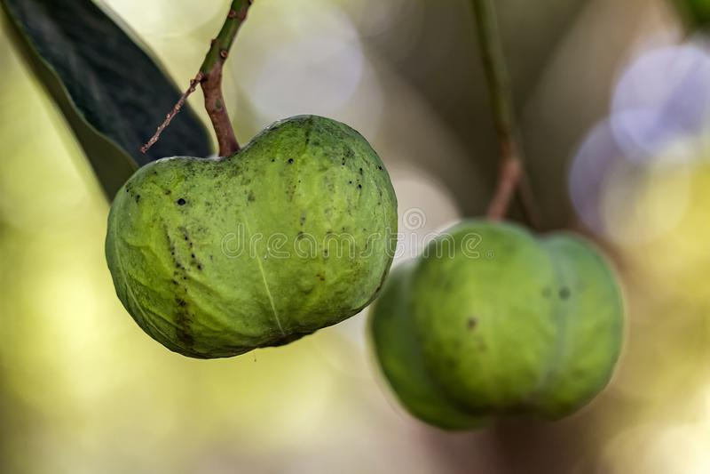 Frutta di pianta legnosa di gomma di hevea brasiliensis sul ramo immagini stock