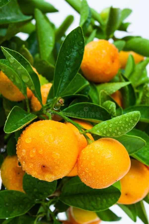 frutta di pianta legnosa matura del mandarino fotografia stock libera da diritti