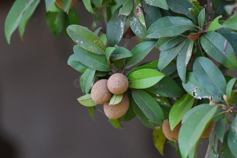 Frutta di pianta legnosa di sapota delle piante della sapota sana fotografia stock libera da diritti