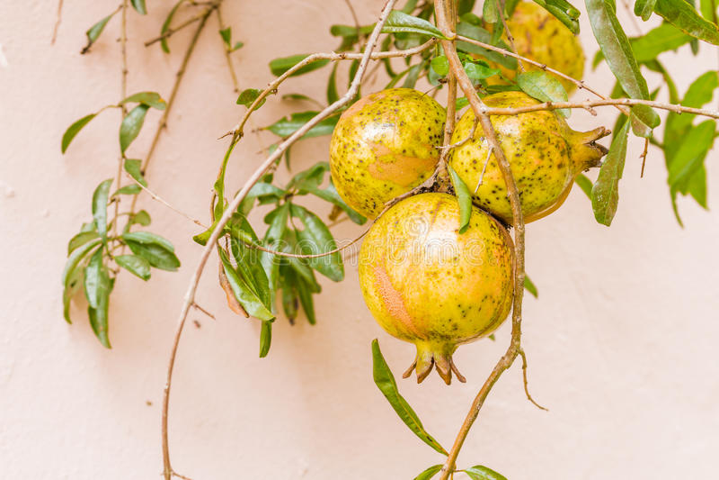 Frutta di Pomegrante fotografia stock